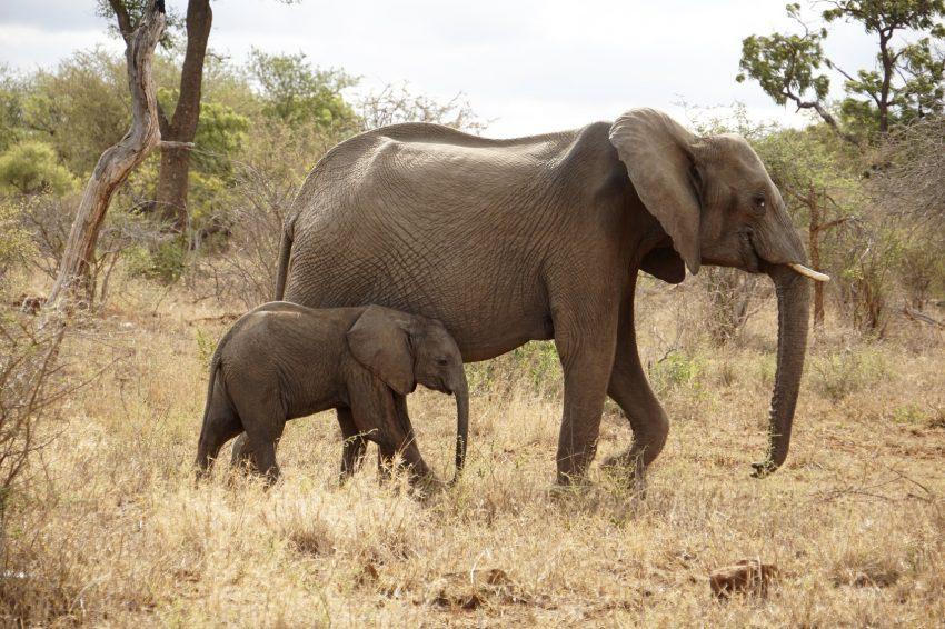 Elefanten Muttertier